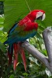金刚鹦鹉猩红色 库存照片