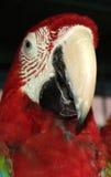 金刚鹦鹉红色猩红色 免版税库存照片