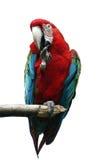 金刚鹦鹉红色 免版税库存照片