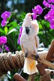 金刚鹦鹉被栖息的白色 库存图片