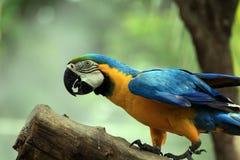 金刚鹦鹉鸟[Ara ararauna] 图库摄影