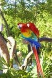 金刚鹦鹉鹦鹉,墨西哥 图库摄影