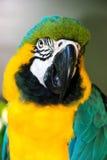 金刚鹦鹉鹦鹉 库存图片