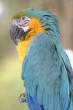 金刚鹦鹉鹦鹉 库存照片