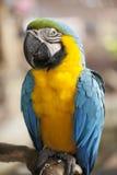 金刚鹦鹉画象 库存照片