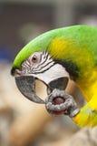 金刚鹦鹉画象 图库摄影