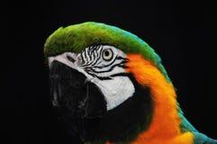 金刚鹦鹉 免版税库存图片