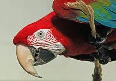 金刚鹦鹉 图库摄影
