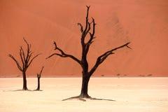 金合欢停止的结构树 图库摄影
