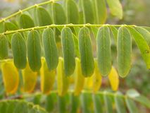 金合欢叶子特写镜头在秋天 免版税库存图片