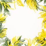 金合欢在白色背景的花分支花卉框架  花为妇女天 平的位置,顶视图 免版税库存图片