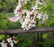 金合欢开花的群 蜂蜜春天植物 收集花蜜 黑蝗虫,刺槐属pseudoacacia分支,错误 免版税库存照片
