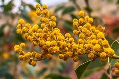 金合欢开花,Canyon,澳大利亚国王 图库摄影