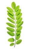 金合欢或黑蝗虫新鲜的绿色春天叶子  免版税库存图片