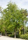 金合欢日本,合欢树Julibrissin,也已知由lenkoran金合欢或拙劣的罗望子树 库存照片