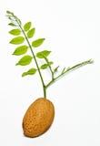 金合欢杏仁分行绿色种子 免版税图库摄影