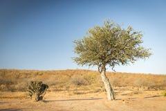 金合欢树博茨瓦纳非洲 免版税库存照片