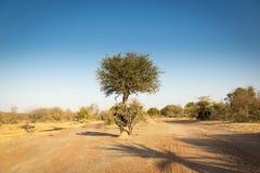 金合欢树博茨瓦纳非洲 库存照片
