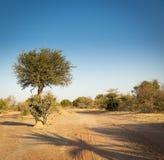 金合欢树博茨瓦纳非洲 库存图片