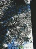 金合欢树叶子和分支剪影在菲律宾 图库摄影