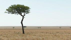 金合欢树和大草原在马塞人玛拉国立公园 股票视频