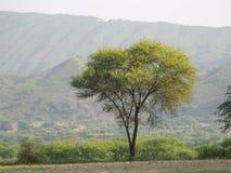 金合欢树和山 库存图片