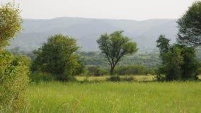 金合欢树和蓝色山 库存照片