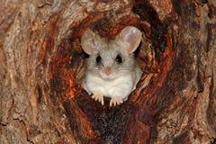 金合欢树鼠 免版税图库摄影