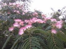 金合欢树(拉丁名字:合欢树julibrissin Durazz) 库存图片