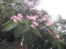 金合欢树(拉丁名字:合欢树julibrissin Durazz) 库存照片