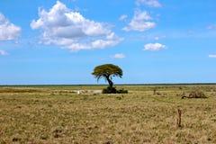 金合欢树etosha国家公园 免版税库存图片