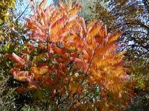 金合欢桃红色颜色叶子  库存照片