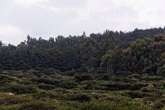 金合欢灌木 免版税库存照片