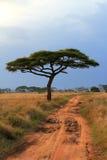 金合欢结构树和长的土路 免版税库存照片