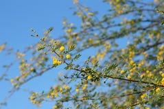 金合欢结构树 库存图片