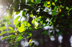 金合欢绿色叶子在阳光下更换色板显示 免版税库存照片