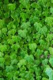 金合欢背景绿色叶子 库存照片