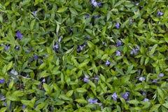 金合欢背景绿色叶子 草和露水抽象背景 免版税库存图片