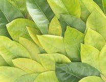 金合欢背景绿色叶子 免版税库存照片