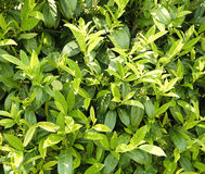 金合欢背景绿色叶子 免版税图库摄影