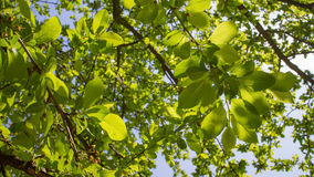 金合欢背景绿色叶子 库存图片