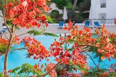 金合欢花在一个热带庭院里 免版税图库摄影