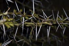 金合欢角度宽刺结构树 免版税库存图片