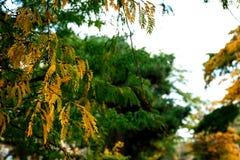 金合欢黄色和绿色叶子在白色背景的 免版税库存照片