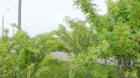 金合欢黄色灌木 股票视频