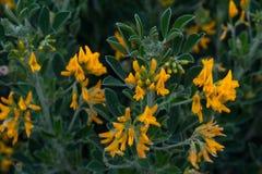 金合欢黄色花在绿色叶子背景的在早期的春天 r 免版税库存图片
