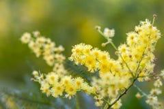 金合欢(金合欢dealbata)束黄色开花特写镜头 免版税图库摄影