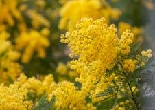 金合欢(金合欢dealbata)黄色开花特写镜头 免版税库存照片