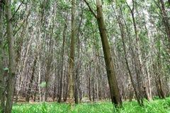 金合欢auriculiformis Cunn森林 免版税库存图片