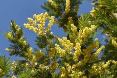 金合欢dealbata植物 库存照片